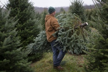 Seasonal worker Chris Arnold carries a Christmas tree to a flatbed on his second day of work at the John T Nieman Nursery, Saturday, Nov. 28, 2015, in Hamilton, Ohio. The fourth generation family farm is home to 60,000 trees that require regular maintenance throughout the year. The family began planting cut-your-own trees in 1987. (AP Photo/John Minchillo) ORG XMIT: OHJM