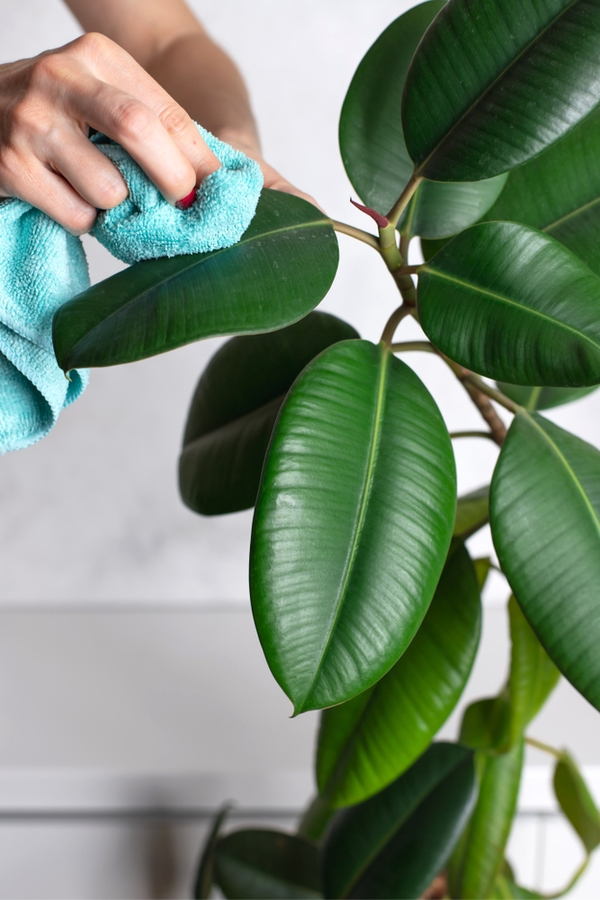 I've decided to share my January cleaning checklist with you. Do your houseplants a favor and dust them off with a soft microfiber cloth.
