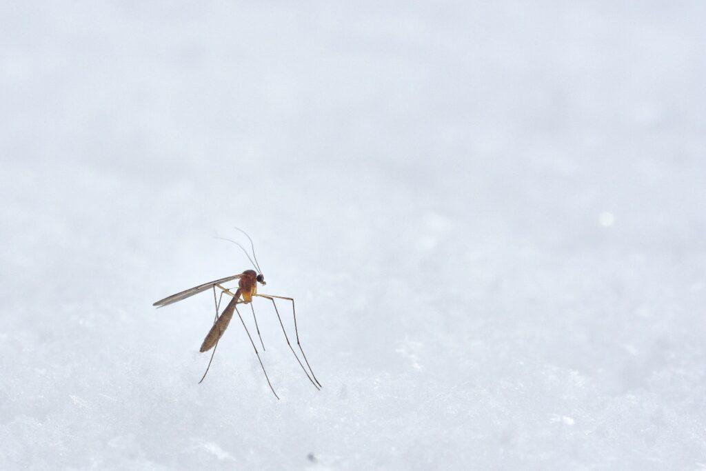 mosquito infestation